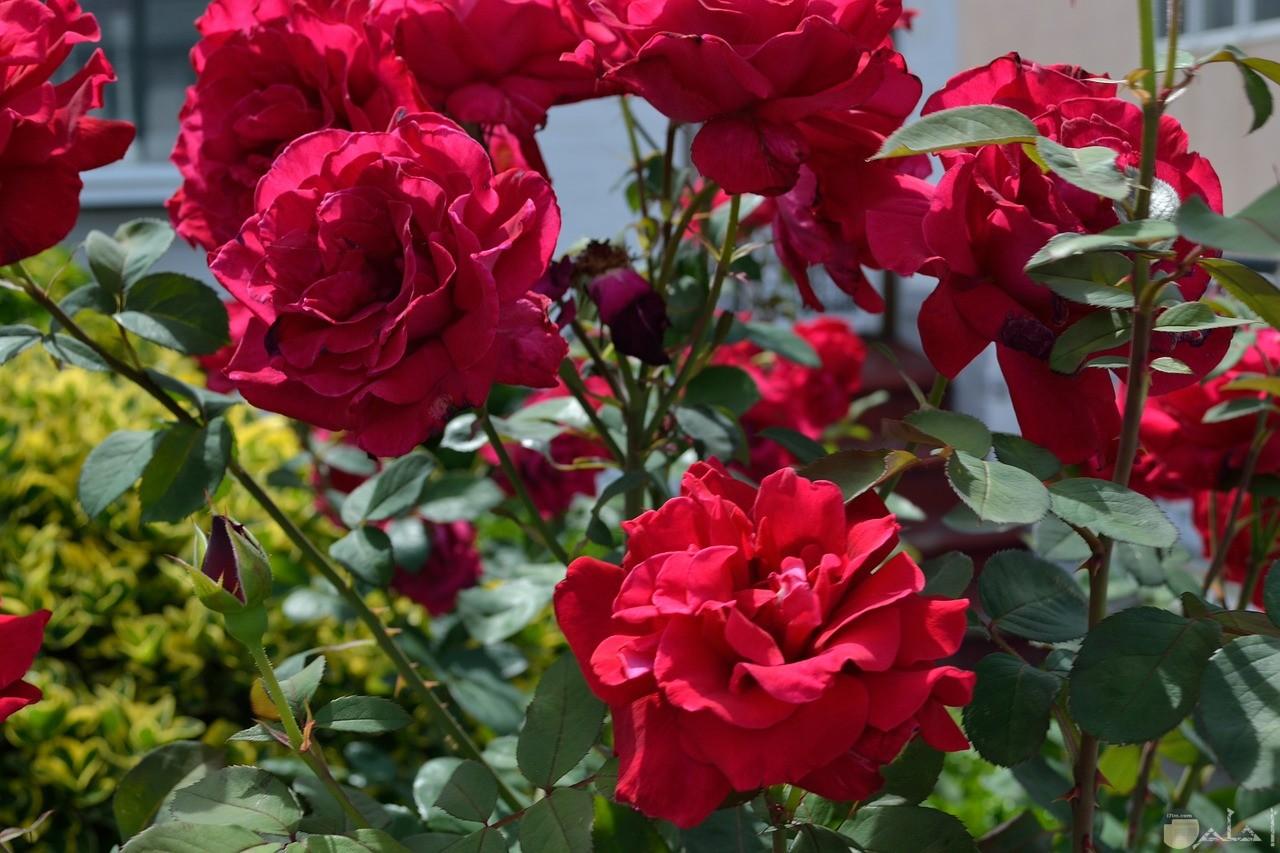 صورة جميلة مميزة لورد أحمر طبيعي في الحديقة