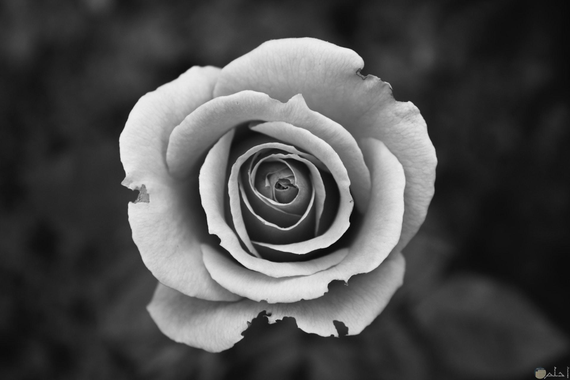 صورة حزينة وكئيبة لوردة بيضاء غير سليمة