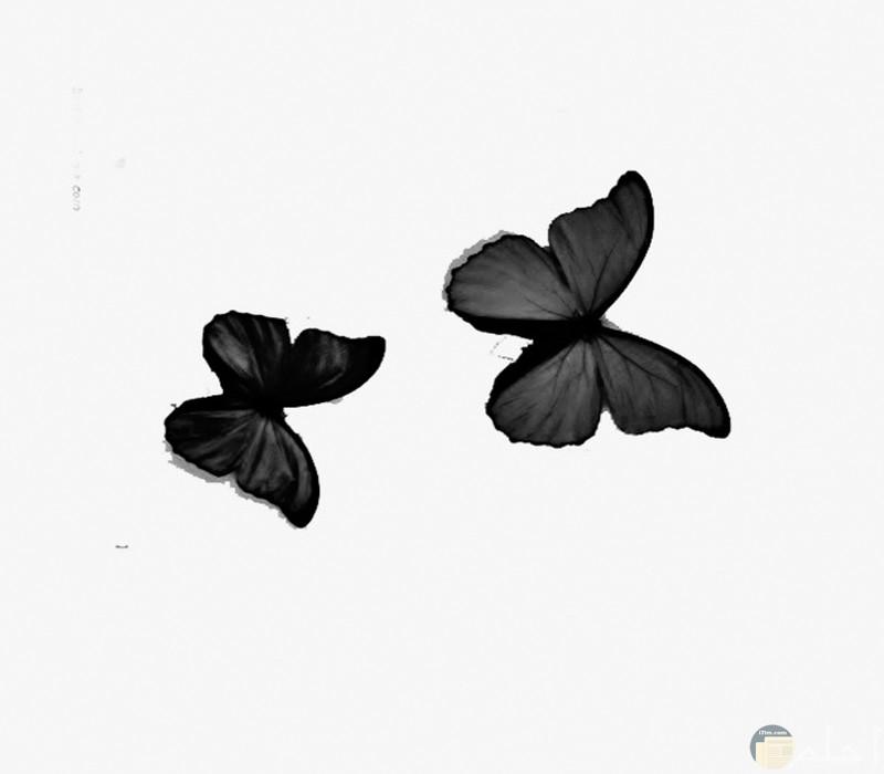 صور أبيض وأسود رسم للفراشات4