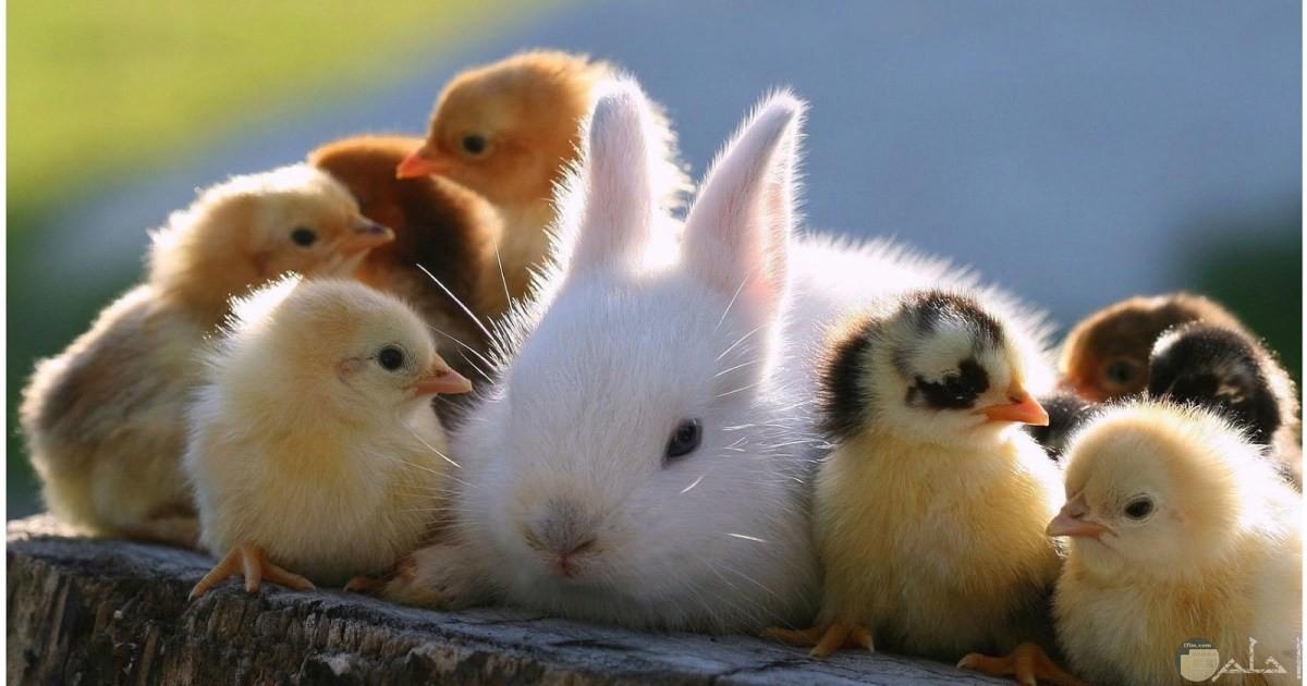 أرنب وكتاكيت