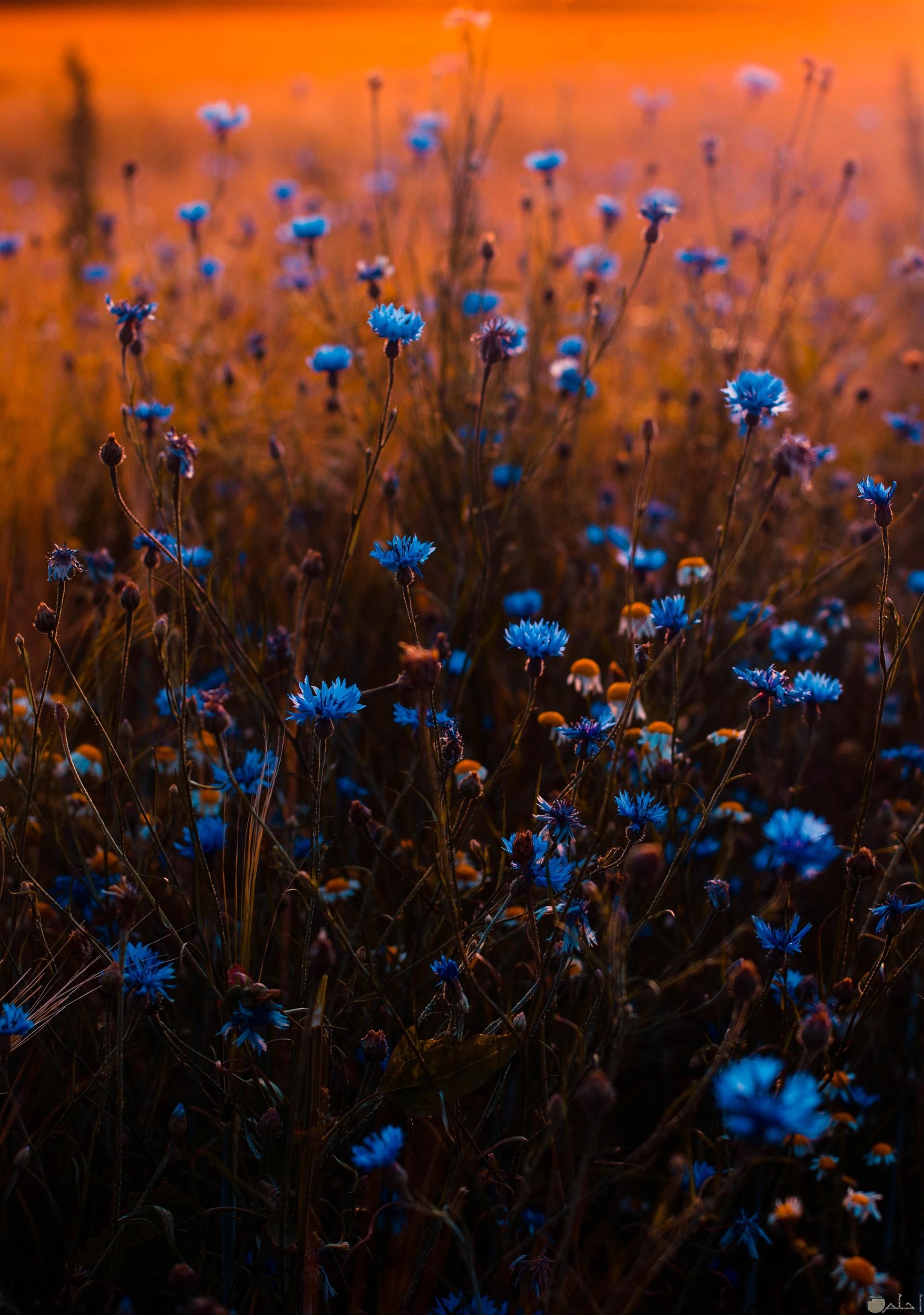 صورة مميزة للورود الزرقاء الجميلة في الطبيعة