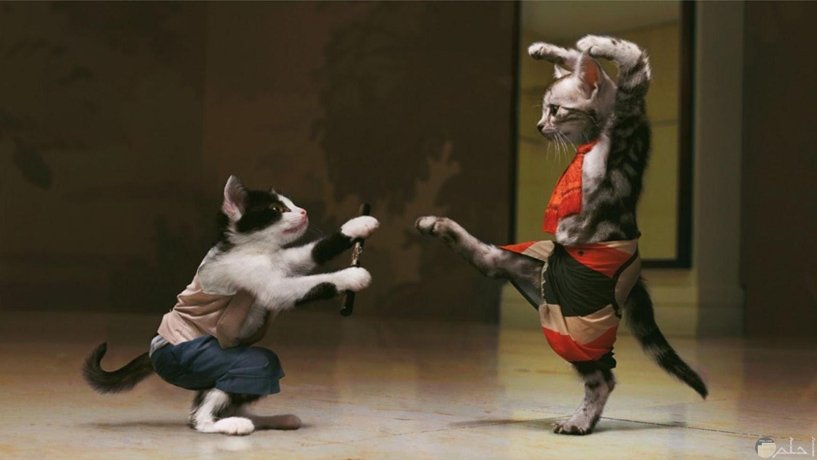 صورة قطين مضحكين بلبس مقاتلان يتقاتلان للفيس بوك