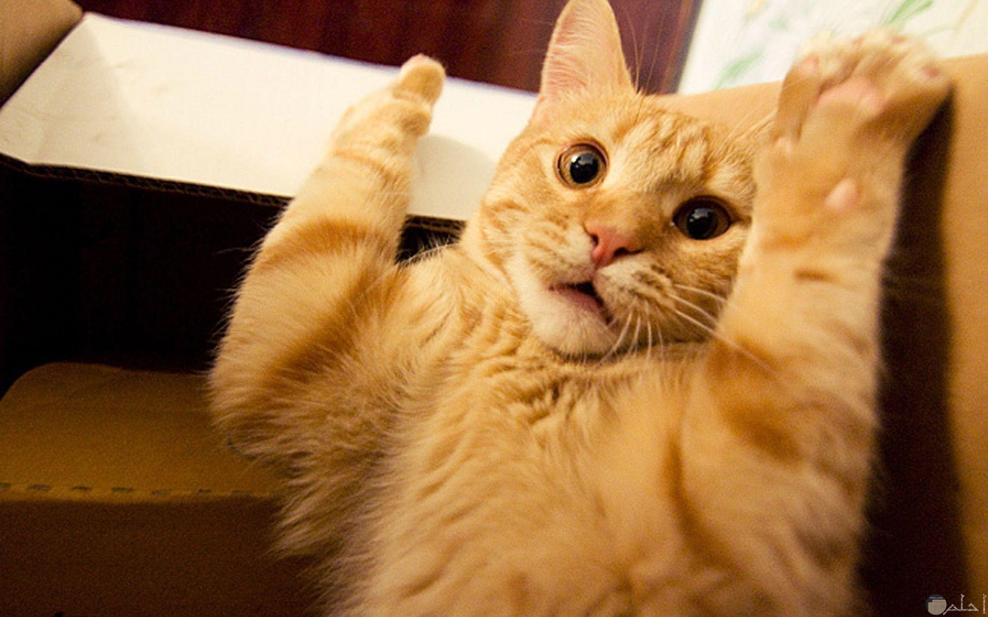صورة فيس بوك مضحكة لقط مصدوم رافع يديه