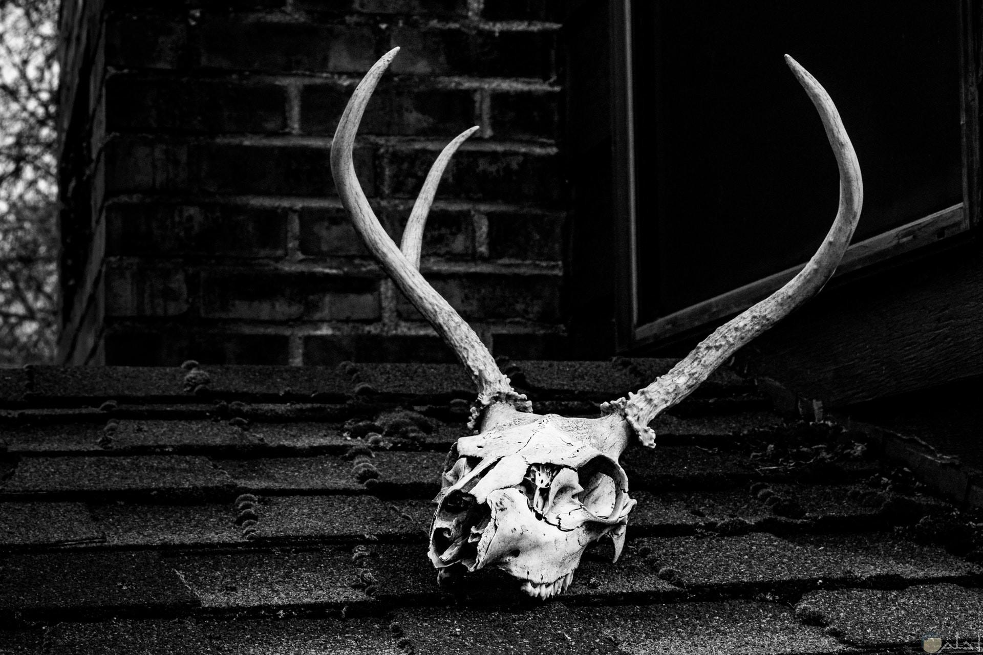 صورة مرعبة ومخيفة لعظام جمجة غزالة ميتة