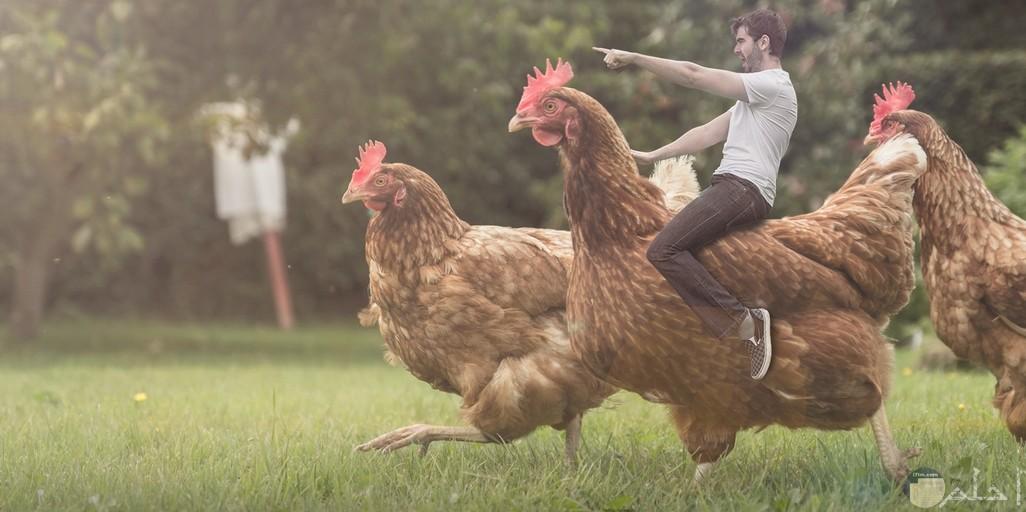 صور مضحكه مع الدجاج