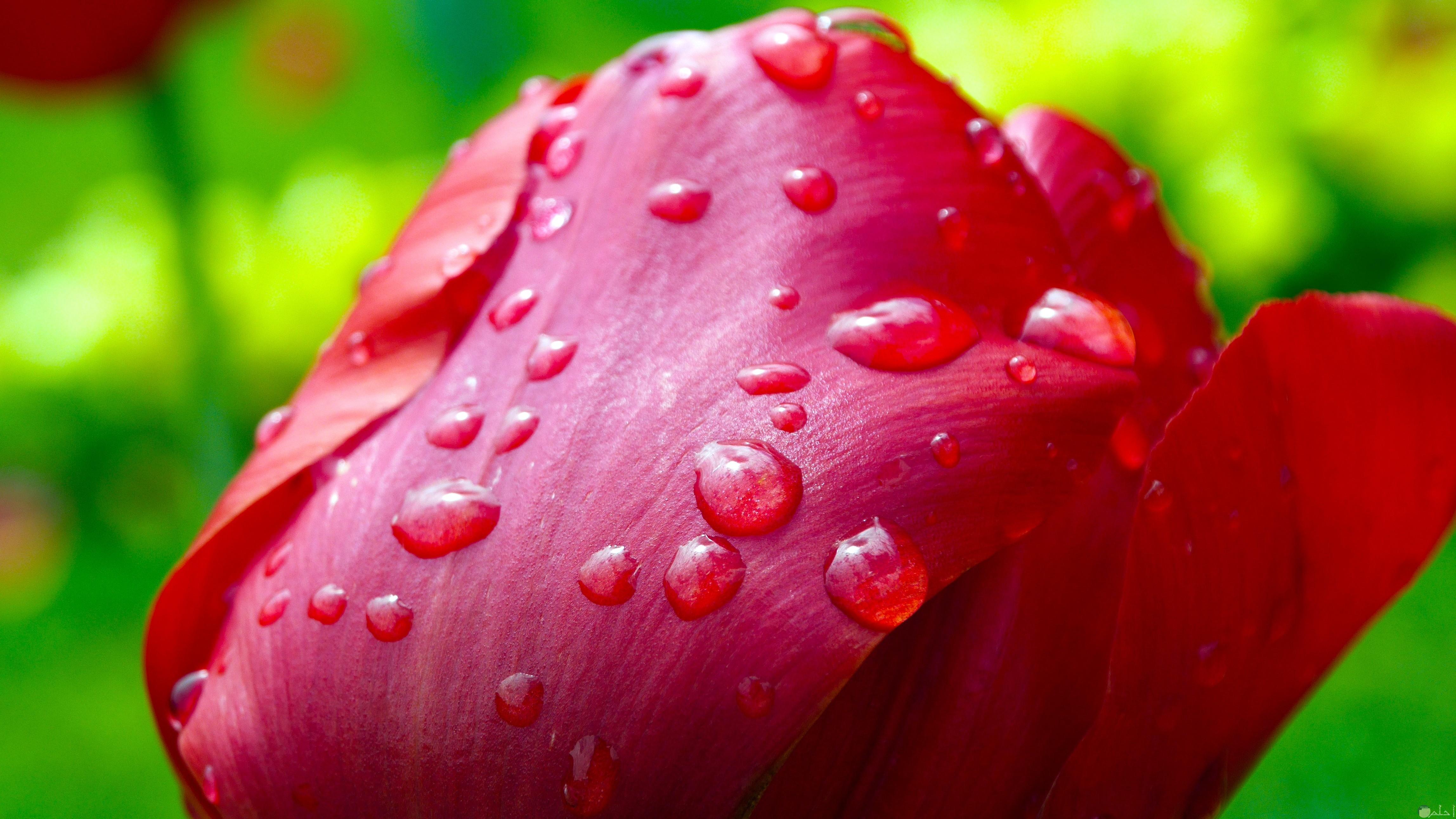 صورة لوردة حمراء جميلة عليها قطرات من المياة