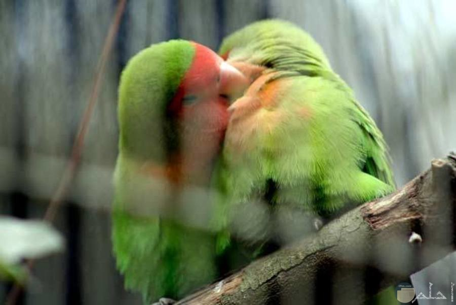 طيور الحب المميزة