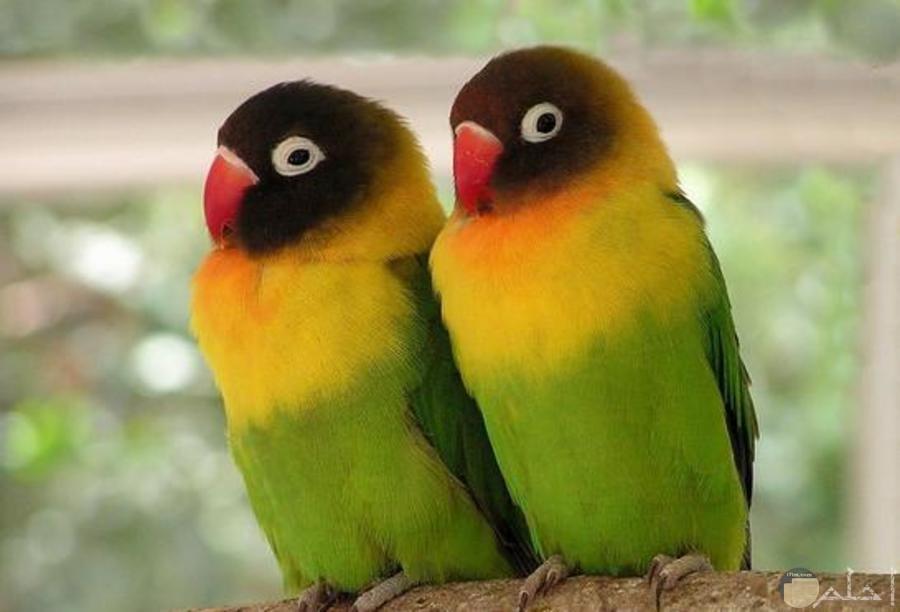 طيور الحب الرائعة