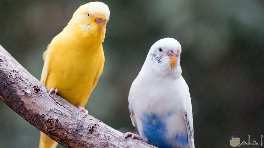 عصفوران من طيور الحب