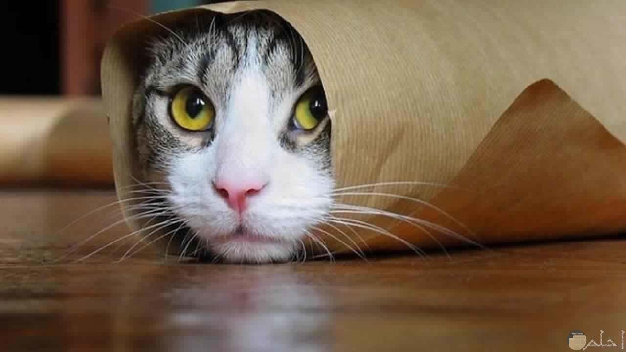 قطه ملفوفه بورق