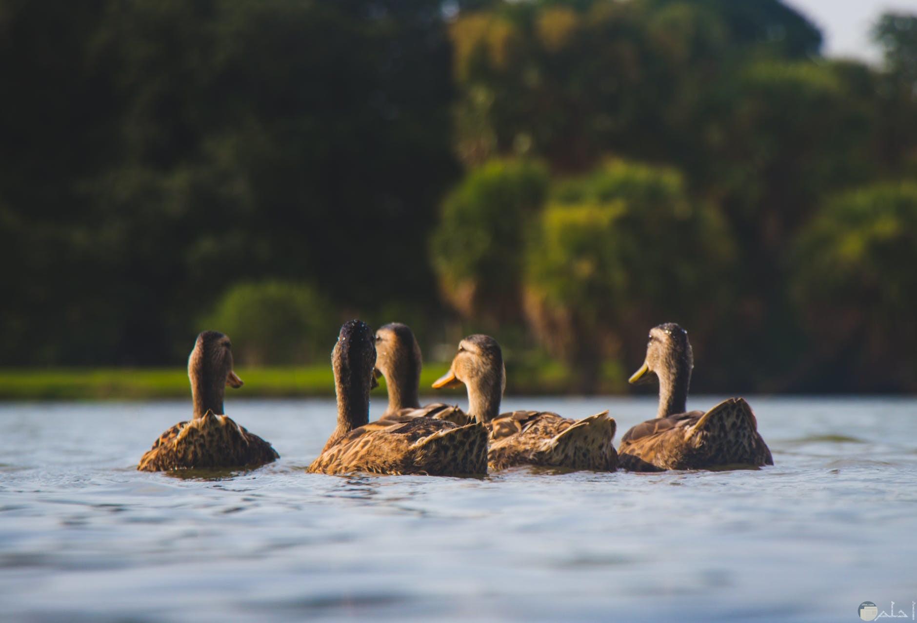 مجموعة من البط في البحيره