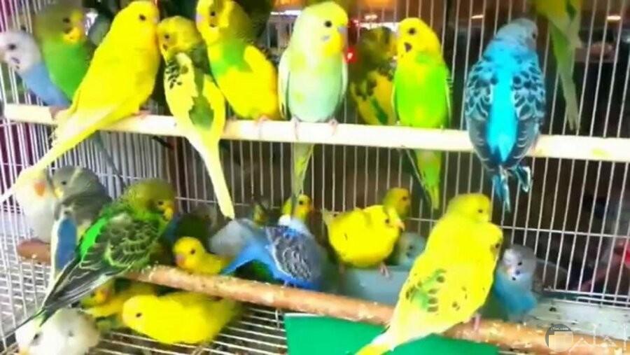 مجموعة من طيور الحب