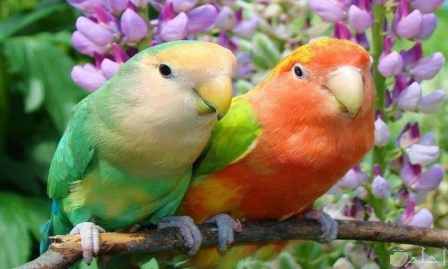 من أجمل صور طيور الحب