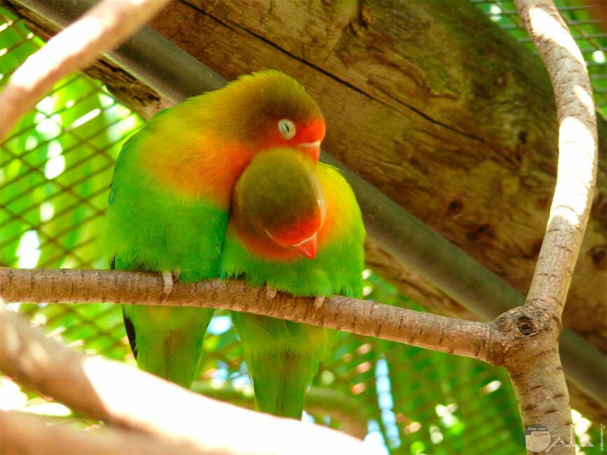 من صور طيور الحب