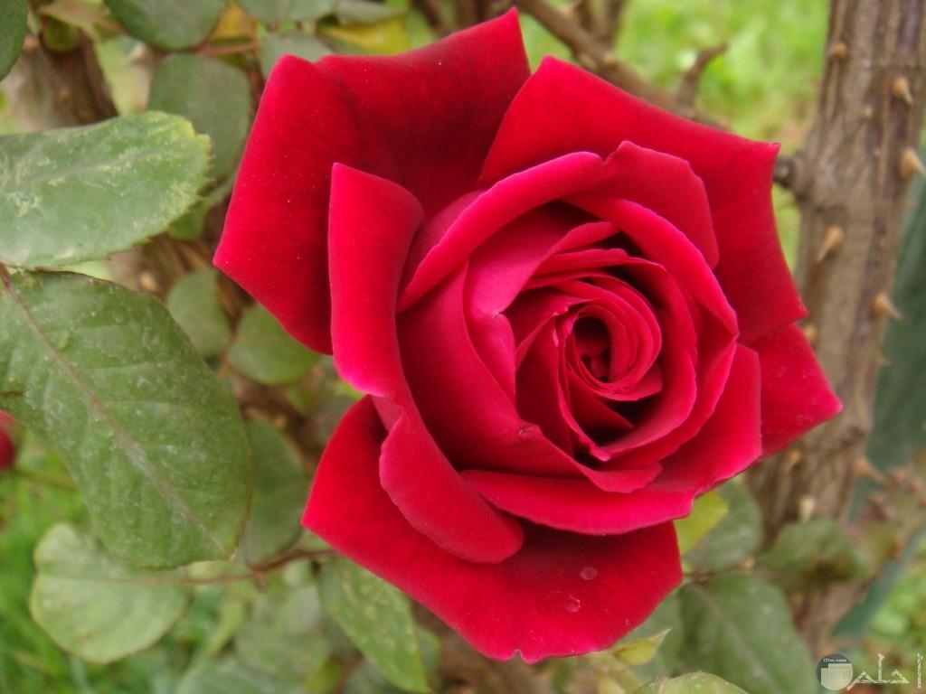 صورة مميزة لوردة طبيعية واحدة حمراء جميلة