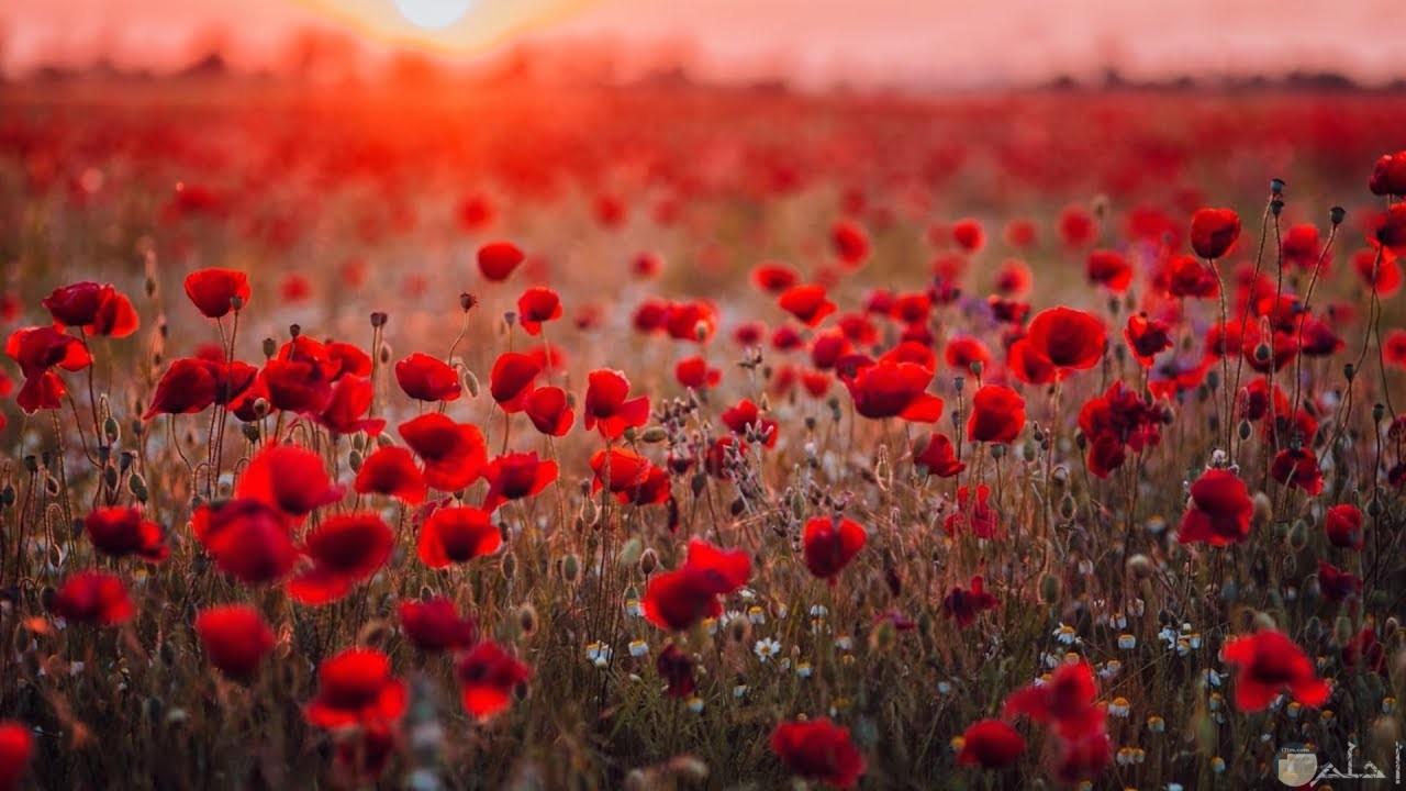 صورة لمجموعة من الورود الحمراء الجميلة في حديقة ورود