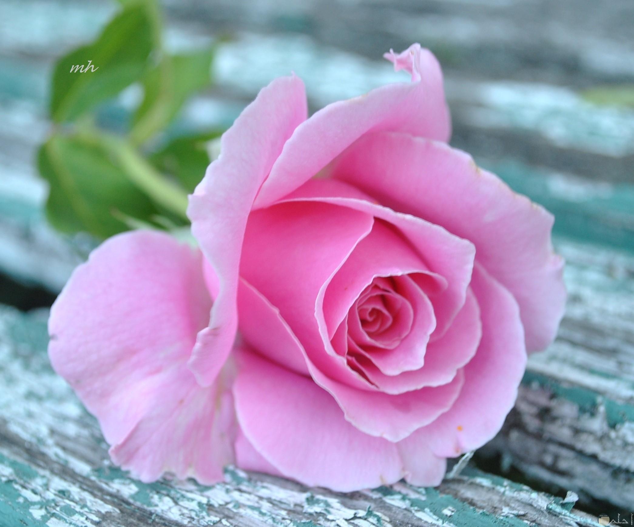 صورة وردة بمبي