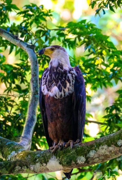 صورة طائر جارح