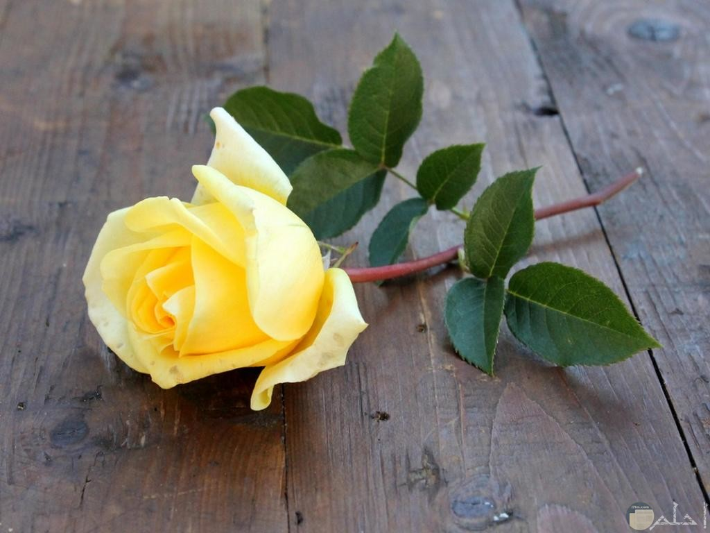 وردة صفراء