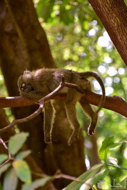 صورة لنسناس فوق جزع شجرة