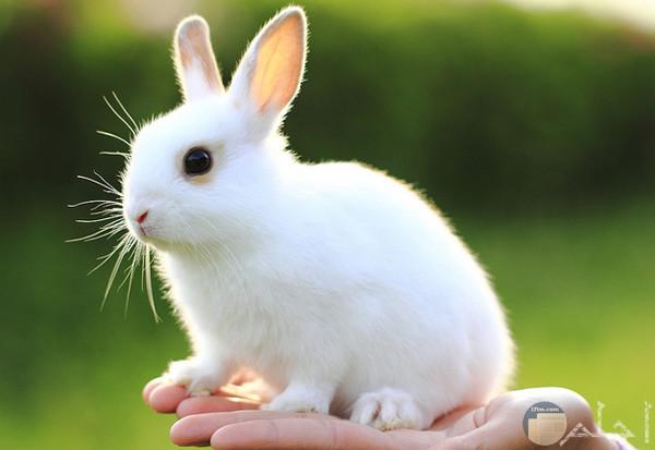 أرنب صغير