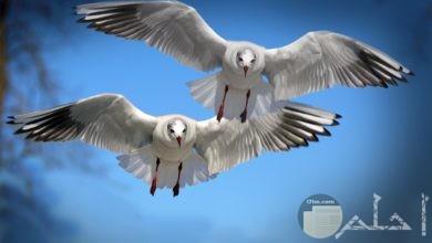 صور طيور تحلق في السماء