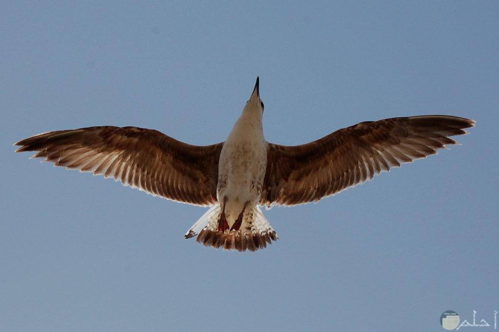صور طير يحلق في السماء يفرد جناحة البني