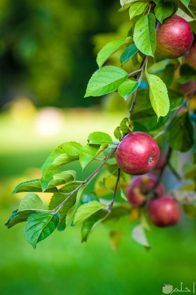 جمال التفاح الأحمر على فرع الشجر