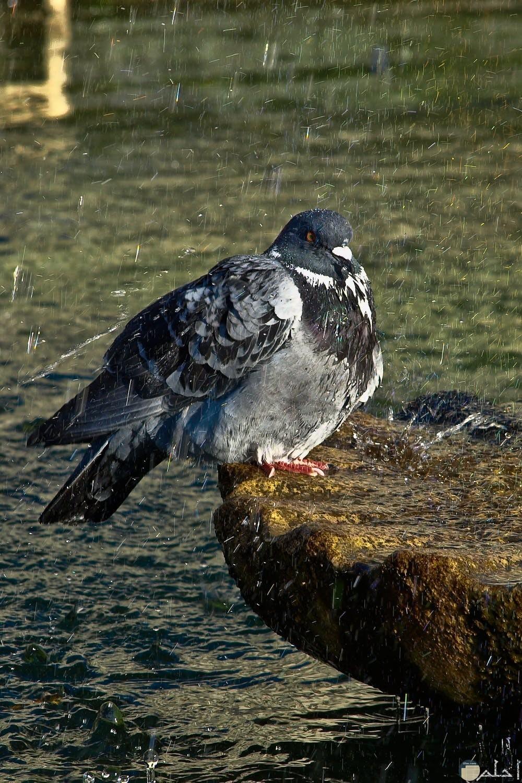 جمال طائر الحمام تحت المطر