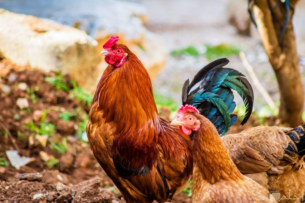 صور دجاج مميزة