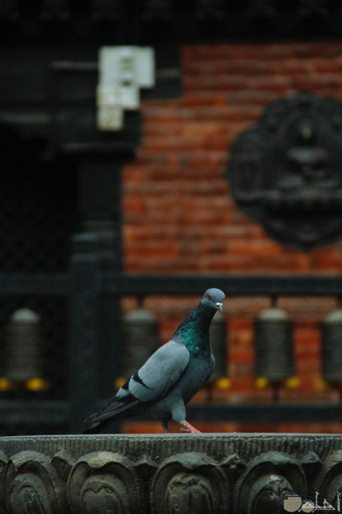 طوررة لطائر الحمام يقف على الجسر