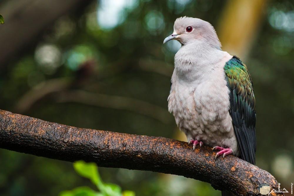 طائر الحمام يقف على غصن الشجر