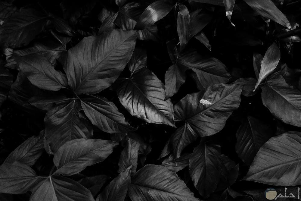 صور سوداء معبرة عن جمال الورد بالظلام