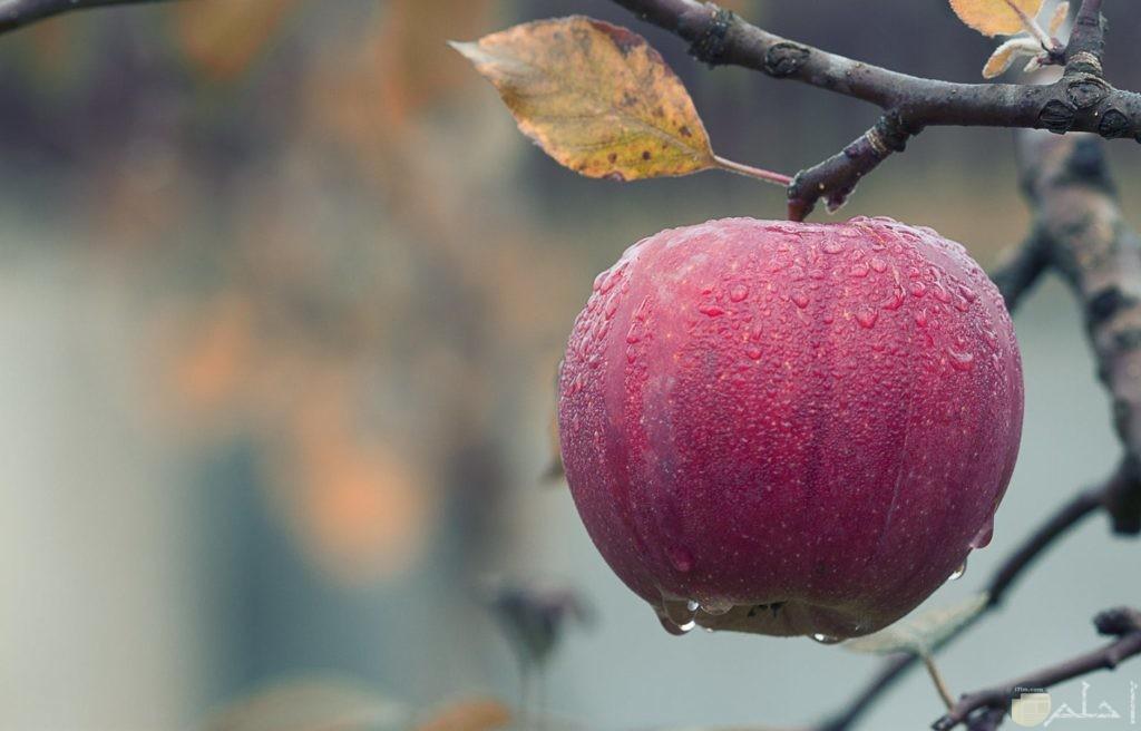 جمال التفاح على فروع الشجر