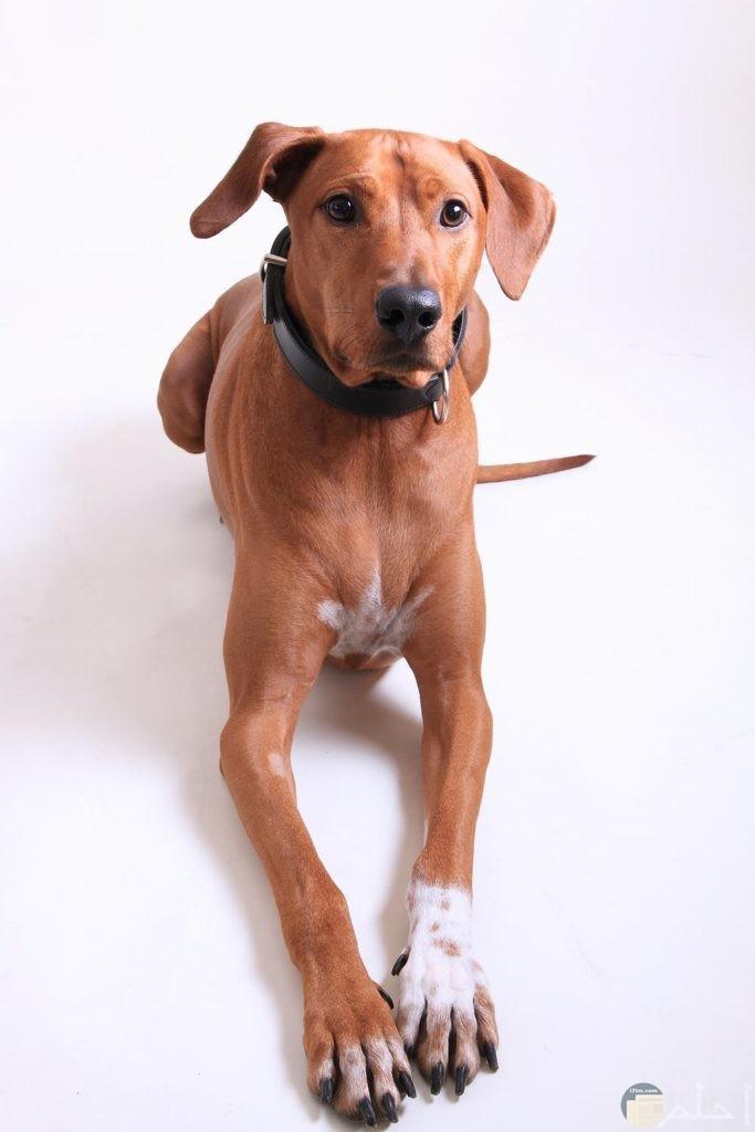 صور كلب بني بطوق أسود