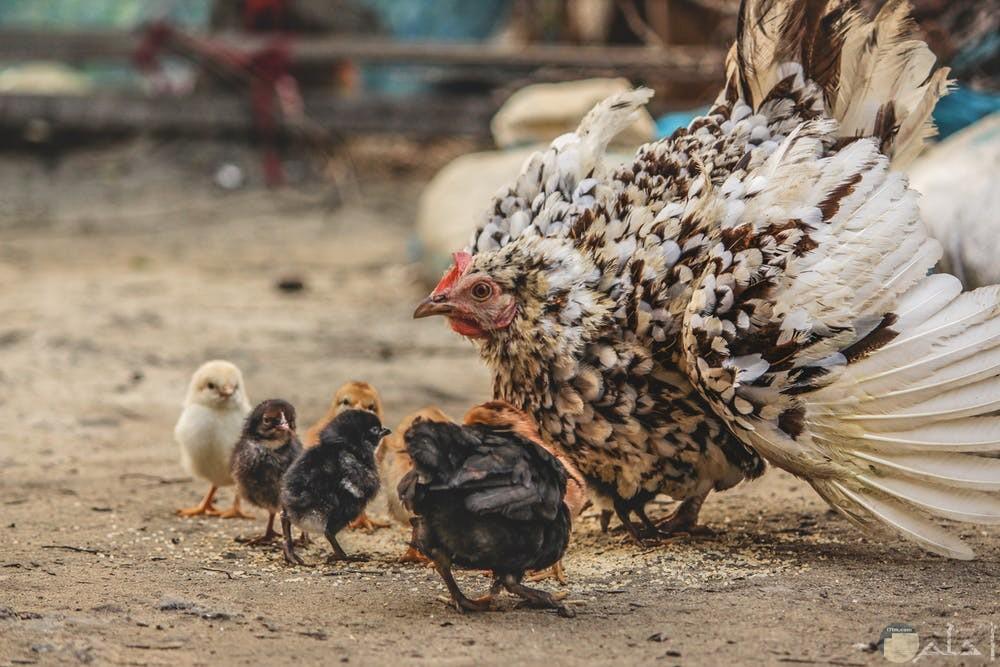 صور دجاج تجنن