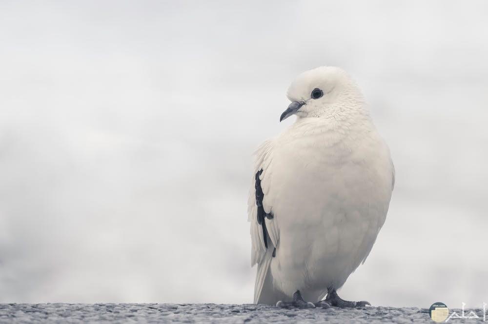 طائر الحمام باللون الأبيض