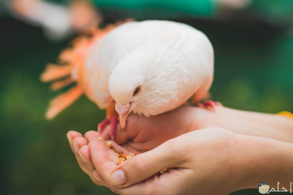 طائر الحمام يلتقط الطعام