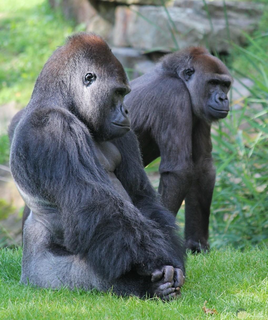 زوجين من القرود وسط الطبيعة