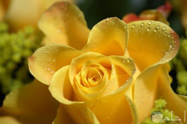 وردة جميلة