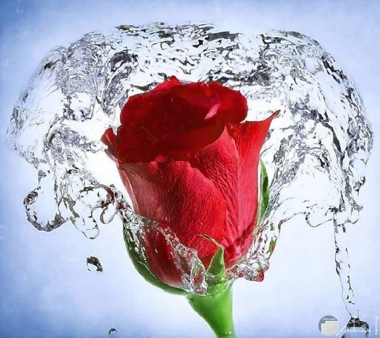 خلفية وردة حمراء مع قطرات الماء