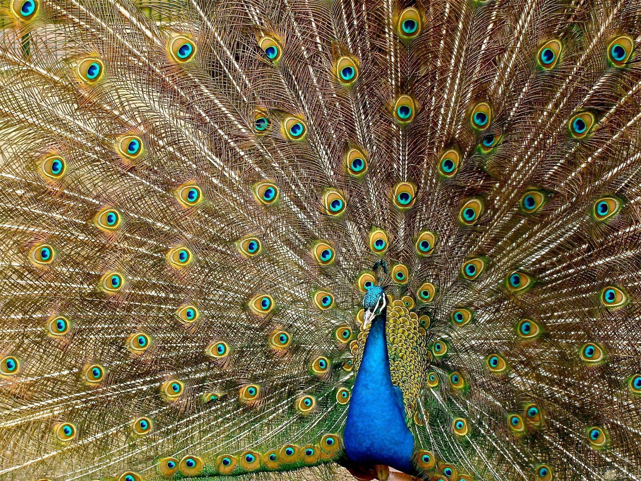 صورة جميلة جدا لحيوان الطاووس الأزرق مميزة وحلوة