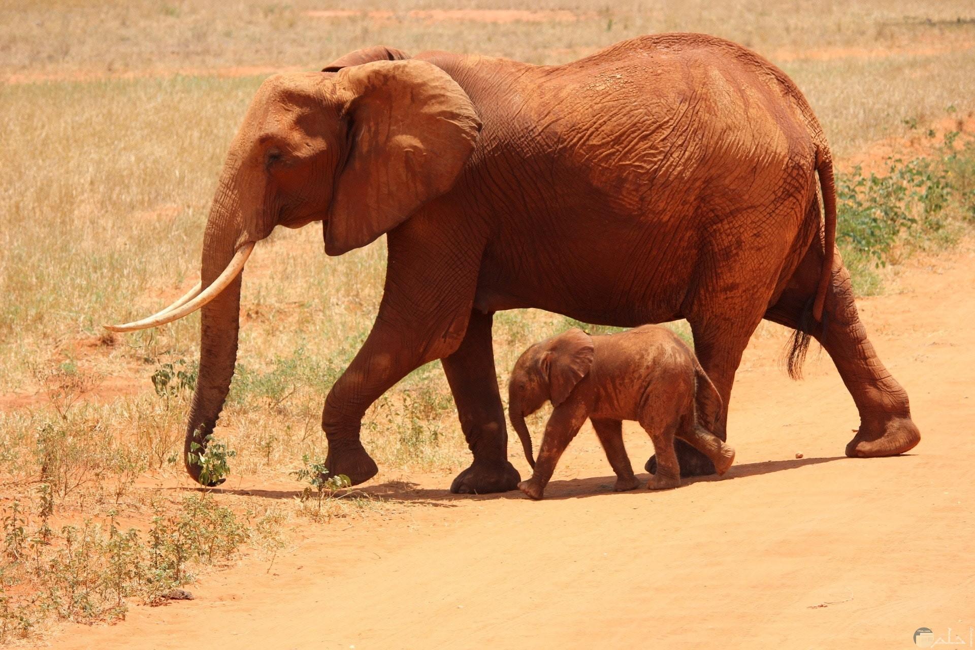 صورة جميلة جدا لفيل مع ابنه الصغير يتجولان في الغابة