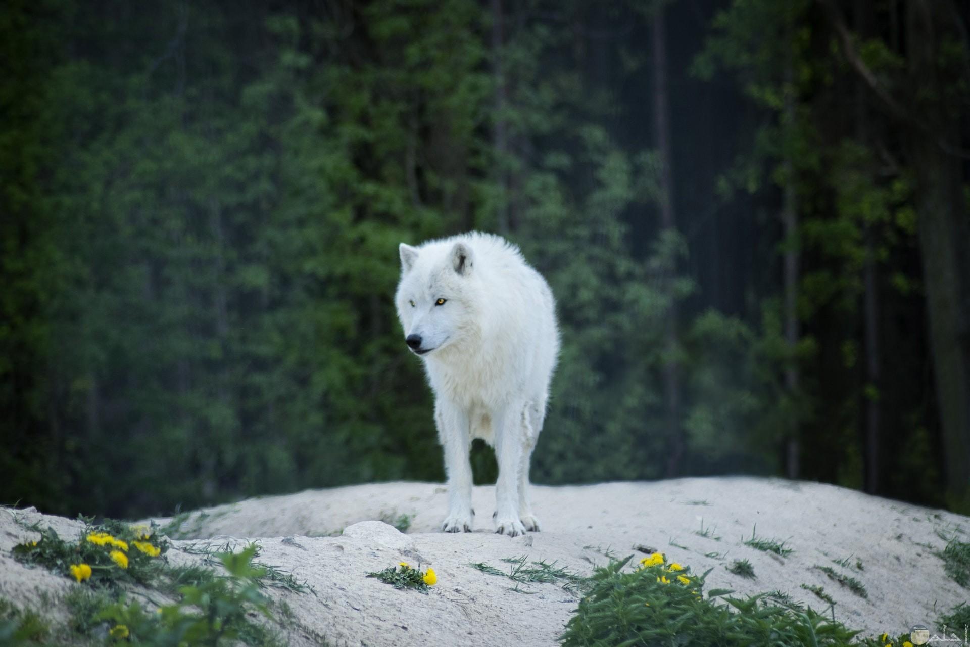 صورة جميلة لذيب باللون الأبيض واقف في الغابة