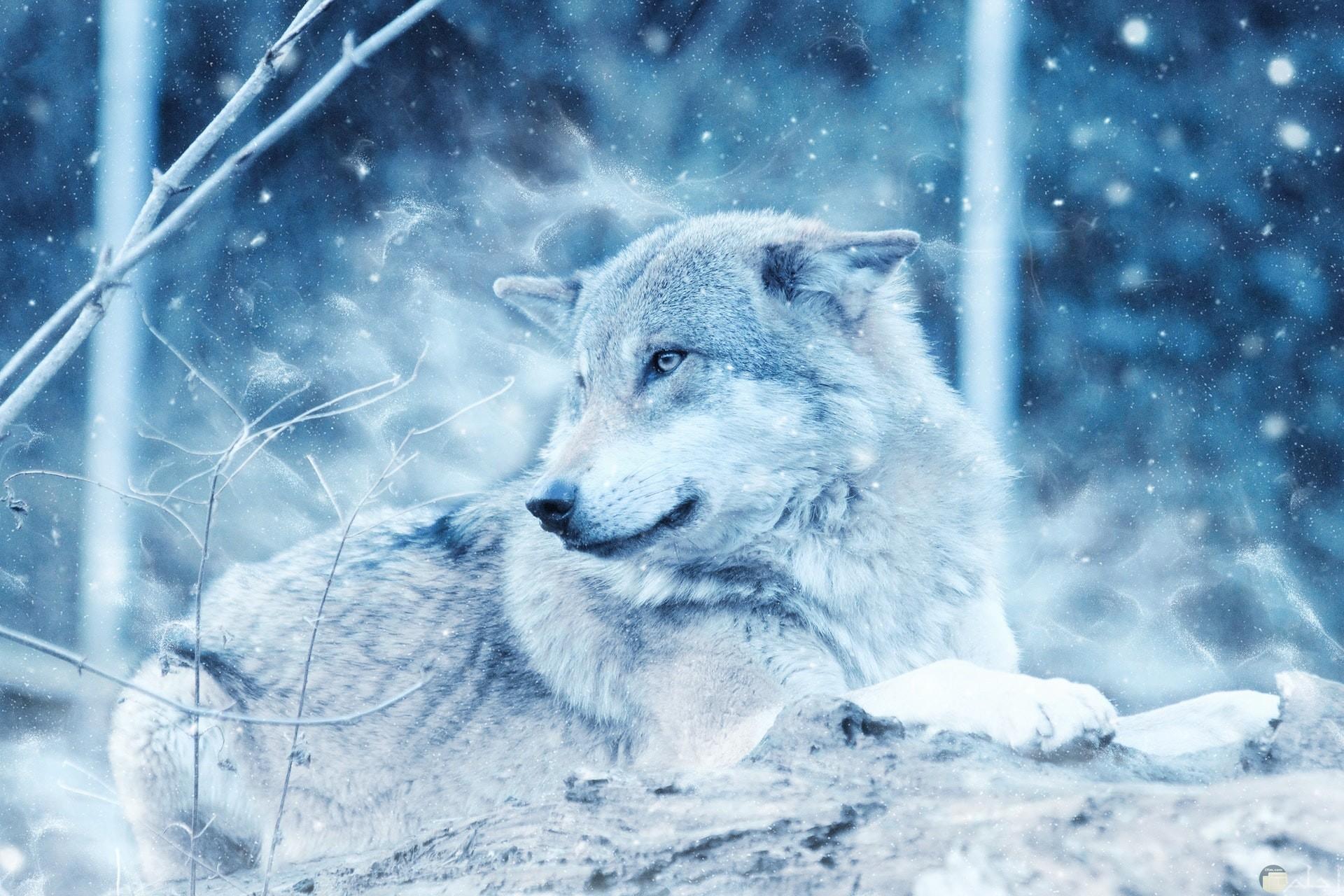 صورة جميلة لذيب جالس وسط تساقط الثلوج من حوله