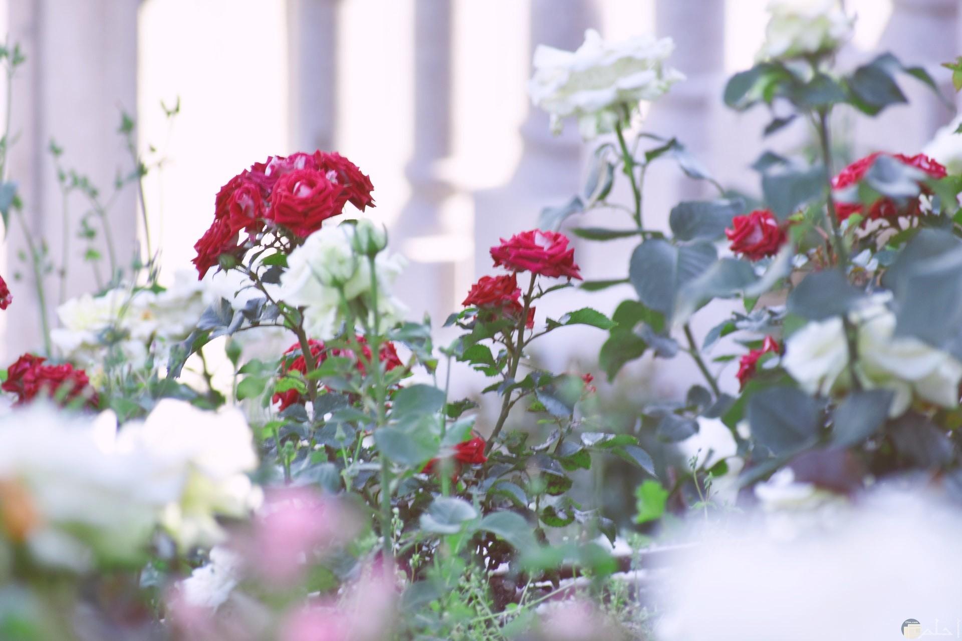 صورة جميلة لمجموعة ورد أبيض وأحمر في حديقة ورود