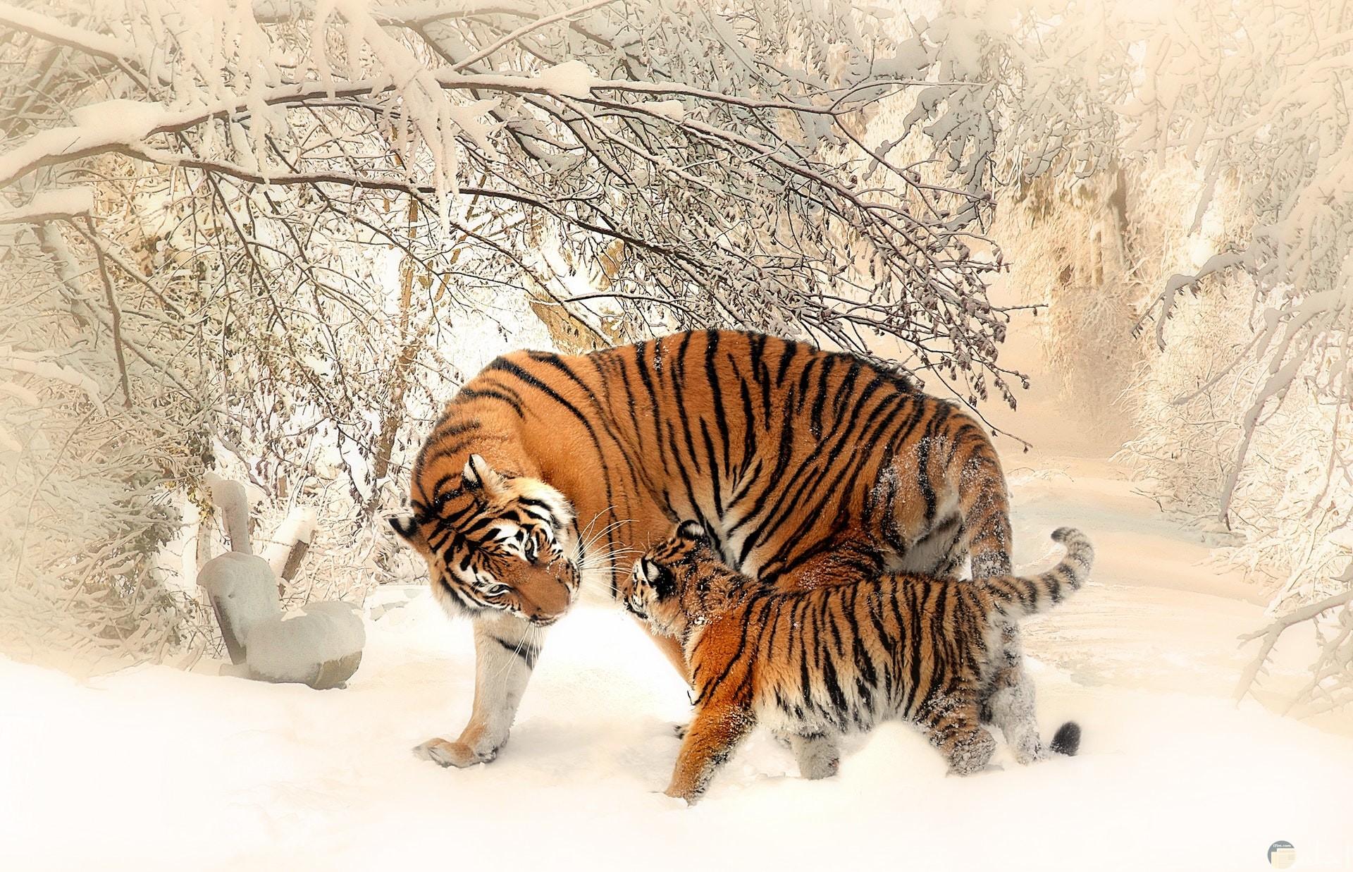 صورة جميلة لنمر مع نمر صغير إبنه في غابة ممتلئة بالثلوج
