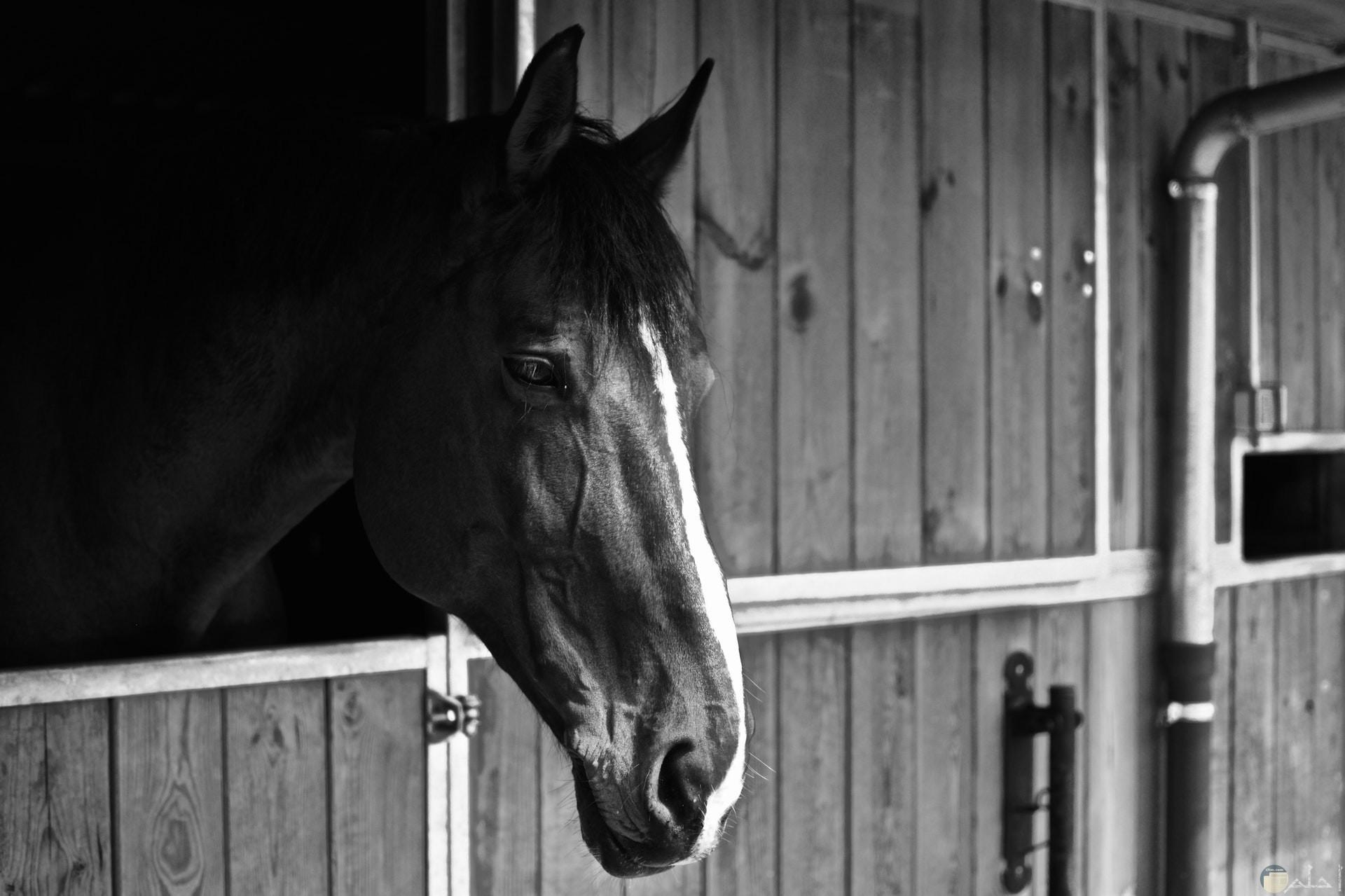 صورة جميلة ومميزة بالأبيض والأسود لحصان يبدو عليه الحزن
