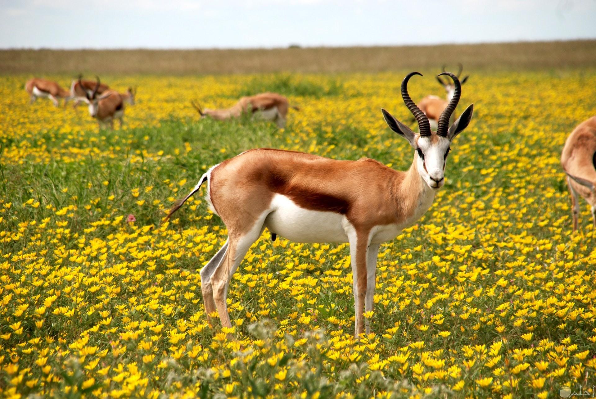 صورة حلوة لمجموعة من الغزلان الجميلة في حقل من الورود الصفراء