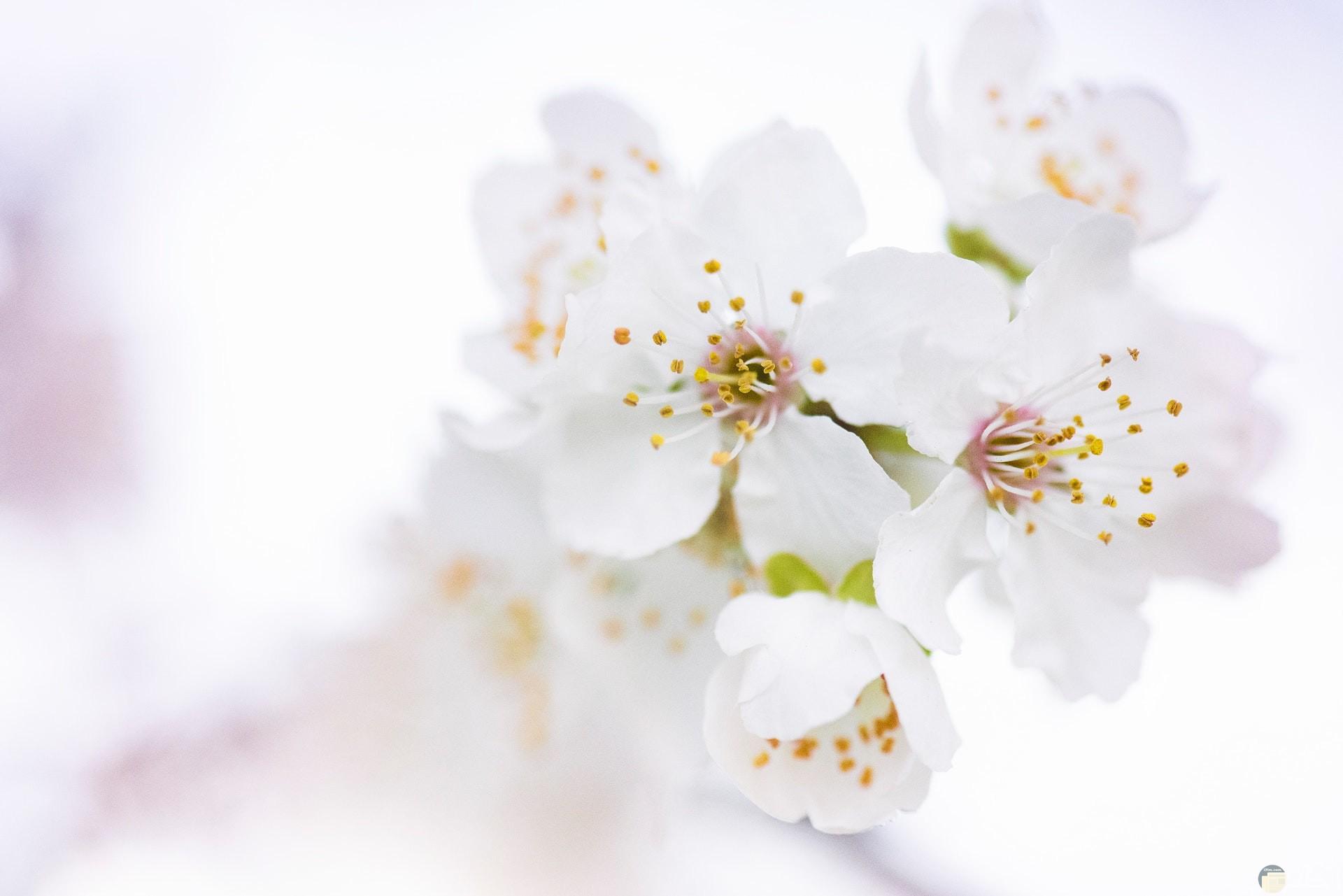 صورة حلوة لمجموعة من الوردات البيضاء الجميلة جدا